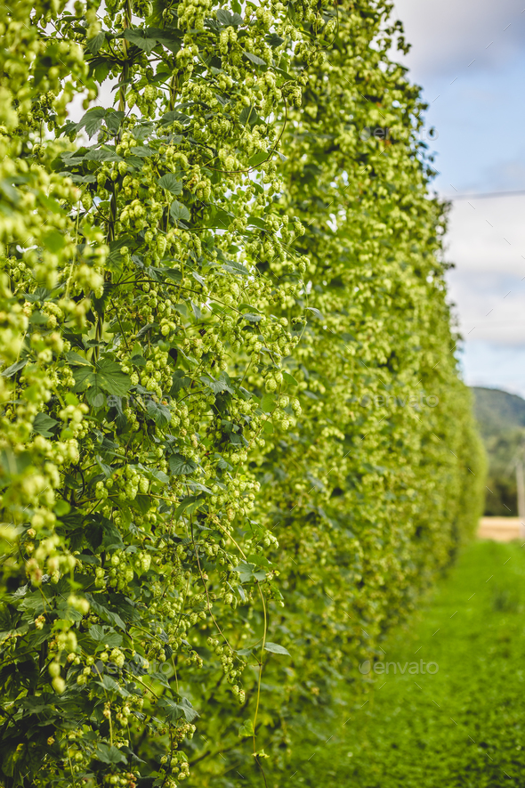 View to tied hop plants growing on field. - Stock Photo - Images