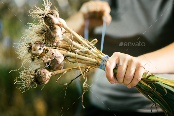 Tighting a rope Around a Freshly Picked Garlic Bouquet ready to - Stock Photo - Images