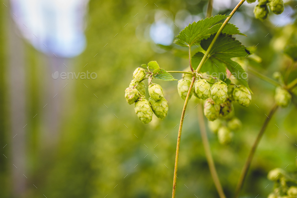 Hop cones on green branch - Stock Photo - Images