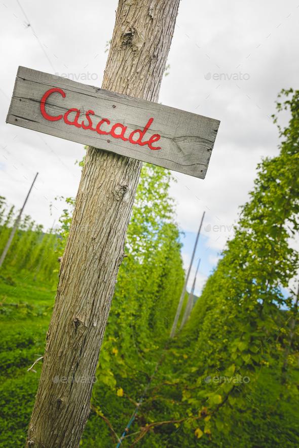 Cascade hop field - Stock Photo - Images