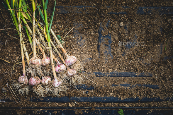 Freshly Picked Garlic Bulbs on Soil and Dirt - Stock Photo - Images