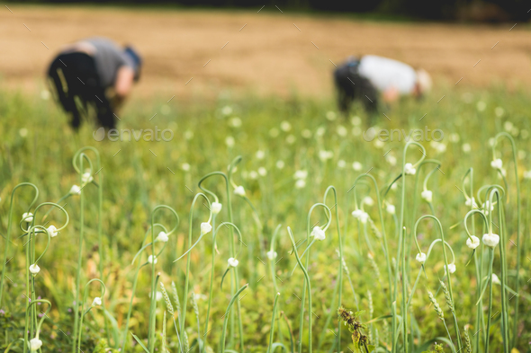 Two Farmers Picking Garlic in the Field - Stock Photo - Images