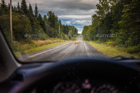 Two Deers Crossing the Road in front of a Car - Stock Photo - Images