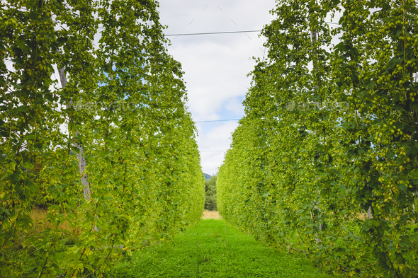 View to green hop field with tied plants. - Stock Photo - Images