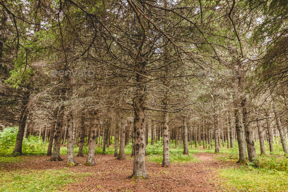 Evergreen trees without needles - Stock Photo - Images