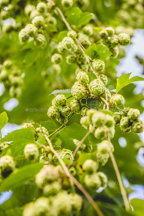 Close-up Nugget hop cones growing on plant. - Stock Photo - Images