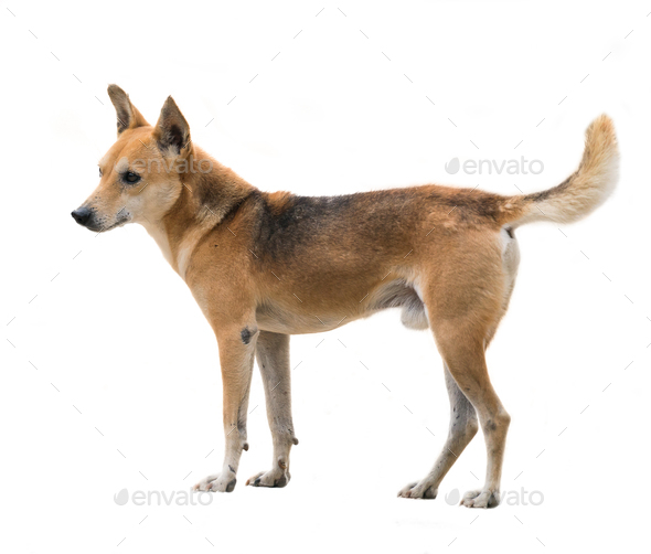 domestic thai dog isolated - Stock Photo - Images