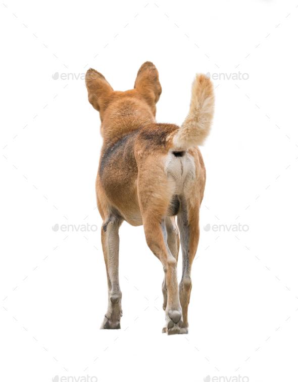 domestic thai dog isolated - Stock Photo - Images