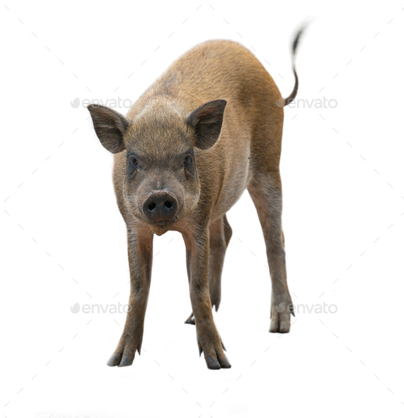 wild boar isolated on white background - Stock Photo - Images