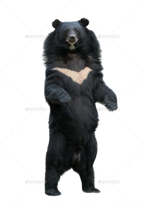 asiatic blackbear isolated on white background - Stock Photo - Images