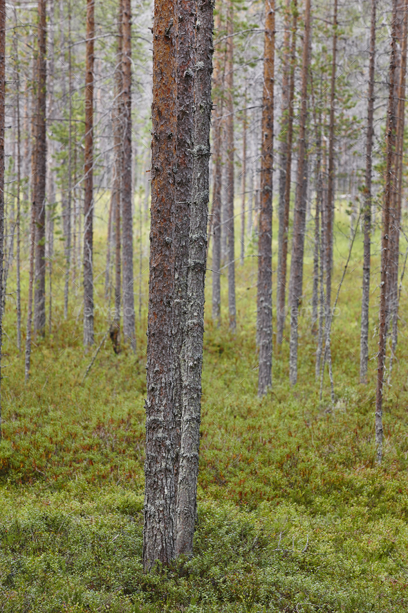 Finland pine wood forest landscape. Finnish timber industry. Vertical - Stock Photo - Images