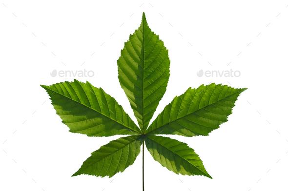 chestnut leaf - Stock Photo - Images