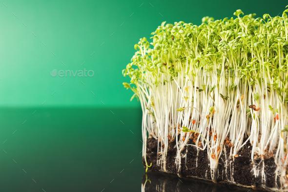 Organic growing micro greens closeup - Stock Photo - Images