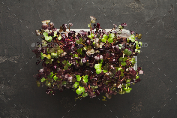Micro greens growing in plastic bowl top view - Stock Photo - Images