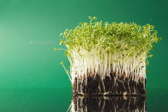 Organic growing micro greens - Stock Photo - Images