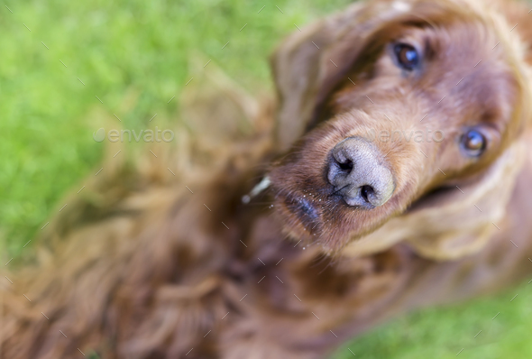 Nose of a curious dog - Stock Photo - Images
