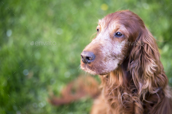 Cute old dog - Stock Photo - Images