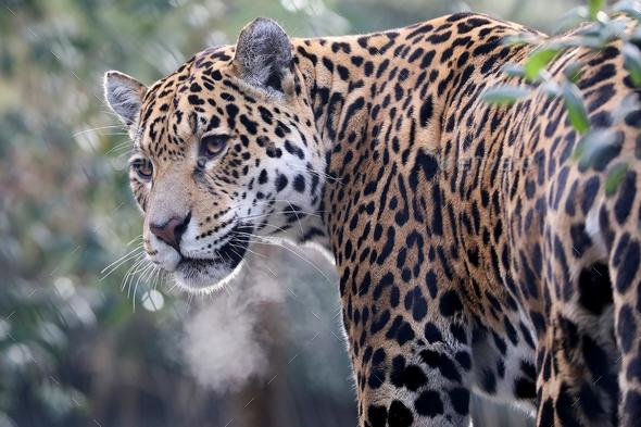 Jaguar - Stock Photo - Images