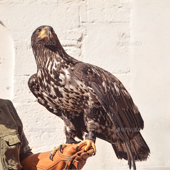 withe tailed eagle - Stock Photo - Images
