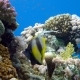 Colorful Fish on Coral Reef, Red Sea - VideoHive Item for Sale