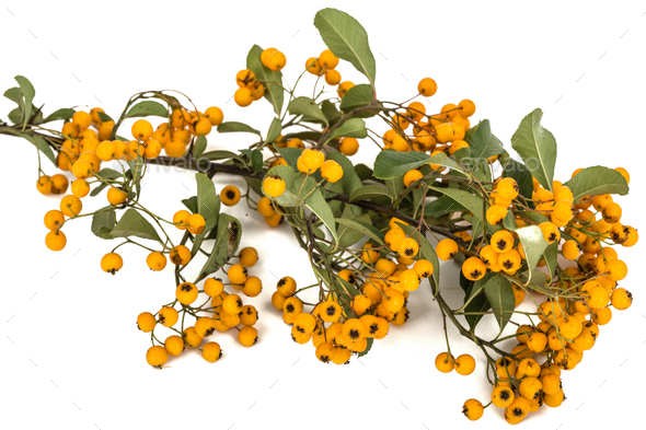 Yellow berries of shrubby pyracanthus, lat. Pyracantha, isolated - Stock Photo - Images