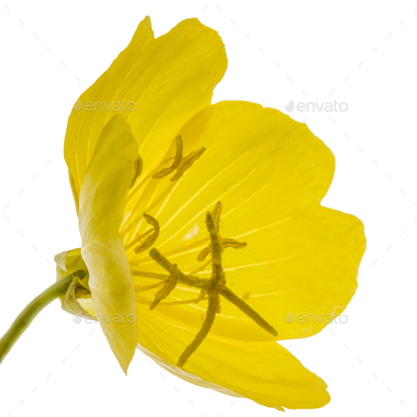Yellow flower of Evening Primrose, lat. Oenothera, isolated on w - Stock Photo - Images