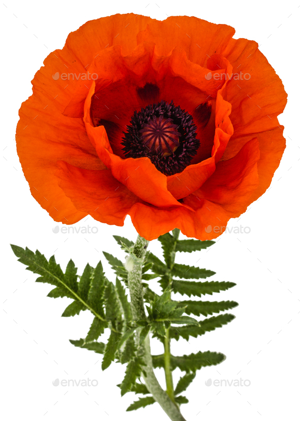 Flower of red poppy, lat. Papaver, isolated on white background - Stock Photo - Images