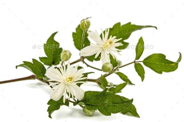 Flowers and leafs of Clematis , lat. Clematis vitalba L., isolat - Stock Photo - Images