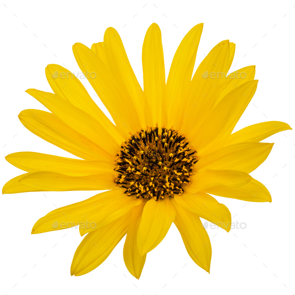 One yellow flower, isolated on white background - Stock Photo - Images