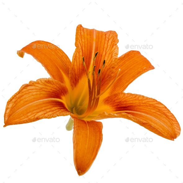 Flower of day-lily, isolated on white background - Stock Photo - Images