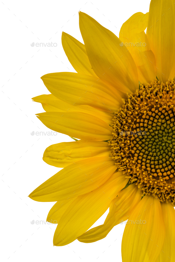 Sunflower closeup isolated on white background - Stock Photo - Images
