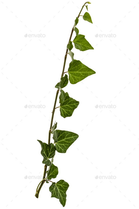 Green Ivy branch, isolated on white background - Stock Photo - Images