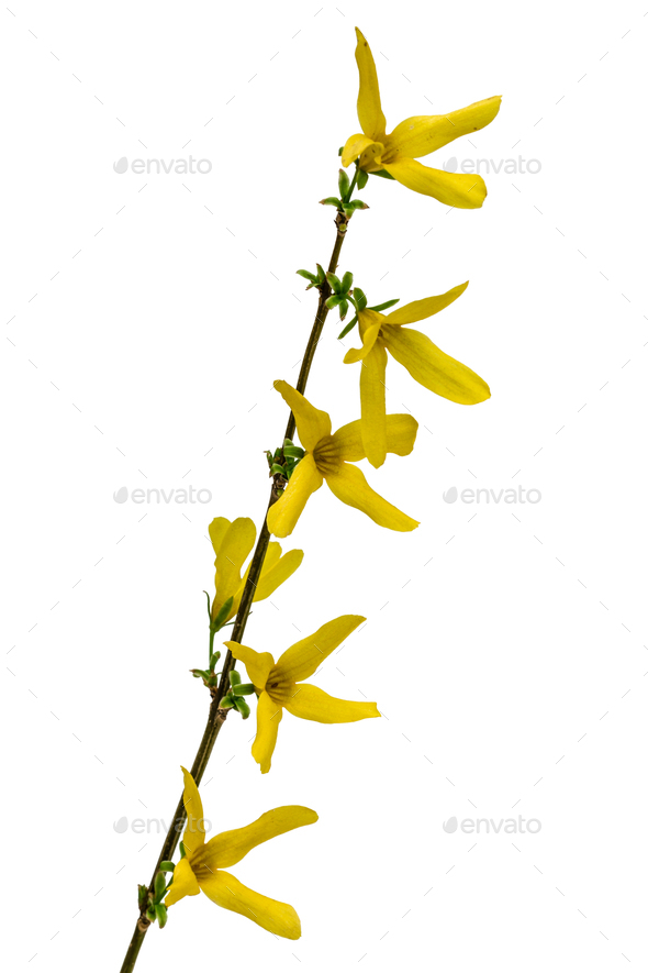 Flowers of forsythia, isolated on white background - Stock Photo - Images