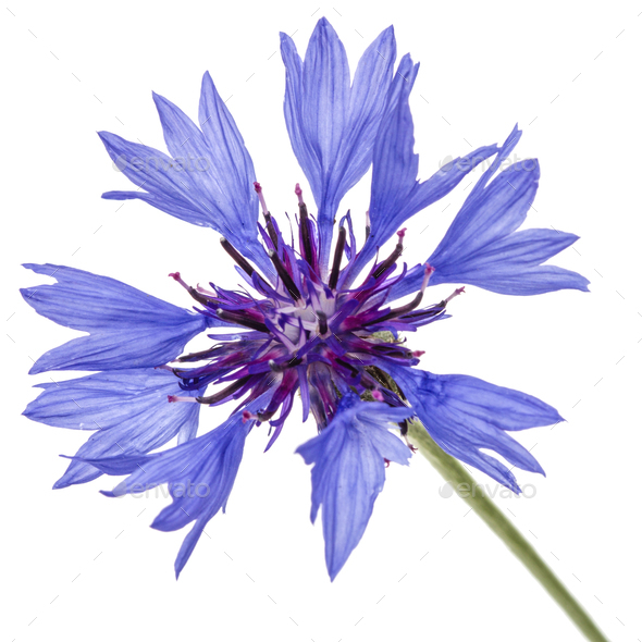 Flower of cornflower, lat. Centaurea, isolated on white backgrou - Stock Photo - Images
