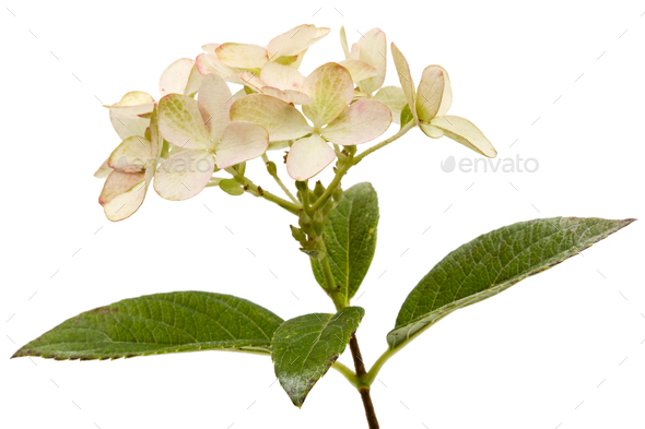 Inflorescence of hydrangea, lat. Hydrangea paniculata, isolated - Stock Photo - Images