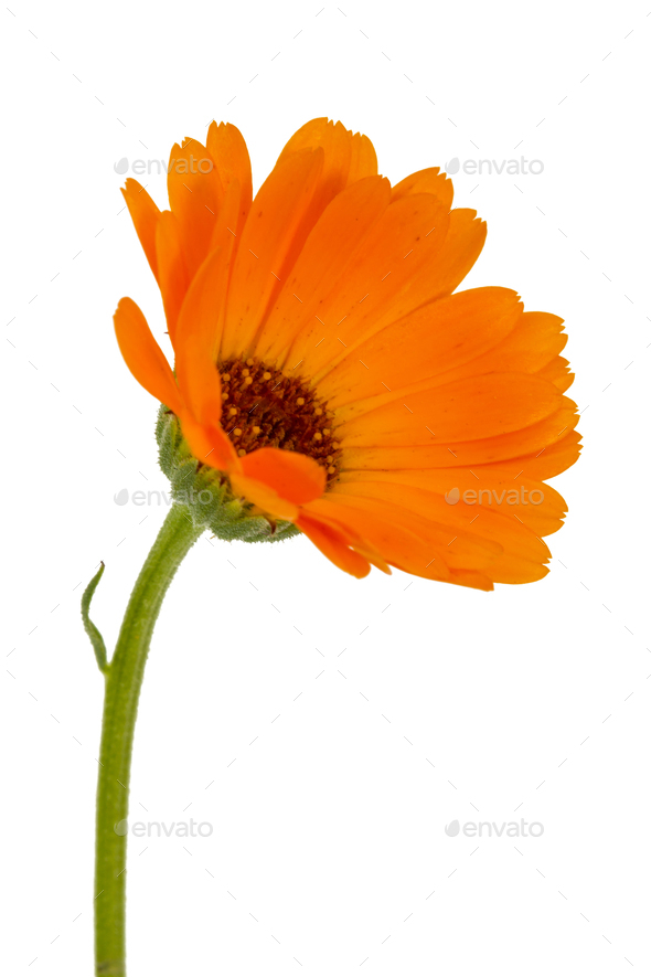 Flower of calendula, isolated on white background - Stock Photo - Images