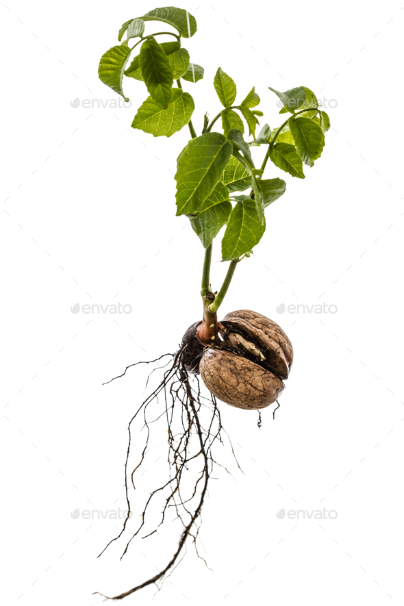 Sprout of a young walnut, isolated on white background - Stock Photo - Images