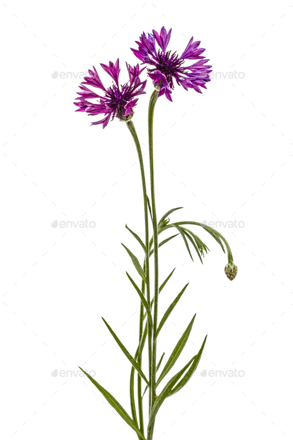 Violet flower of cornflower, lat. Centaurea, isolated on white b - Stock Photo - Images