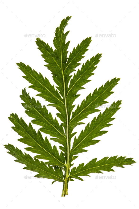 Leafs the medicinal plant of tansy, lat. Tanacetum vulgare, isol - Stock Photo - Images