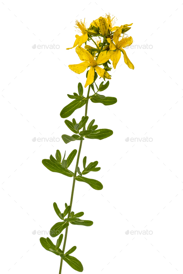 Flowers  of St. John's wort (Hypericum perforatum), isolated on - Stock Photo - Images