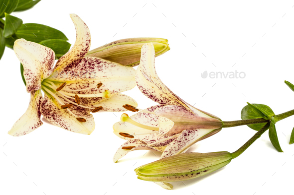 Flowers of asian lily, isolated on white background - Stock Photo - Images