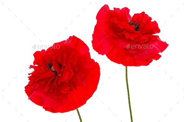 Flowers of red poppy, lat. Papaver, isolated on white background - Stock Photo - Images