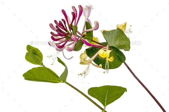 Flowers of honeysuckle, lat. Lonicera caprifolium, isolated on w - Stock Photo - Images