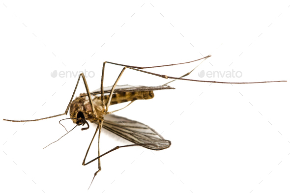 The dead mosquito,  isolated on white background - Stock Photo - Images