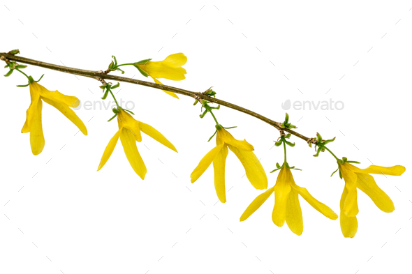 Flowers of forsythia, isolated on white background - Stock Photo - Images