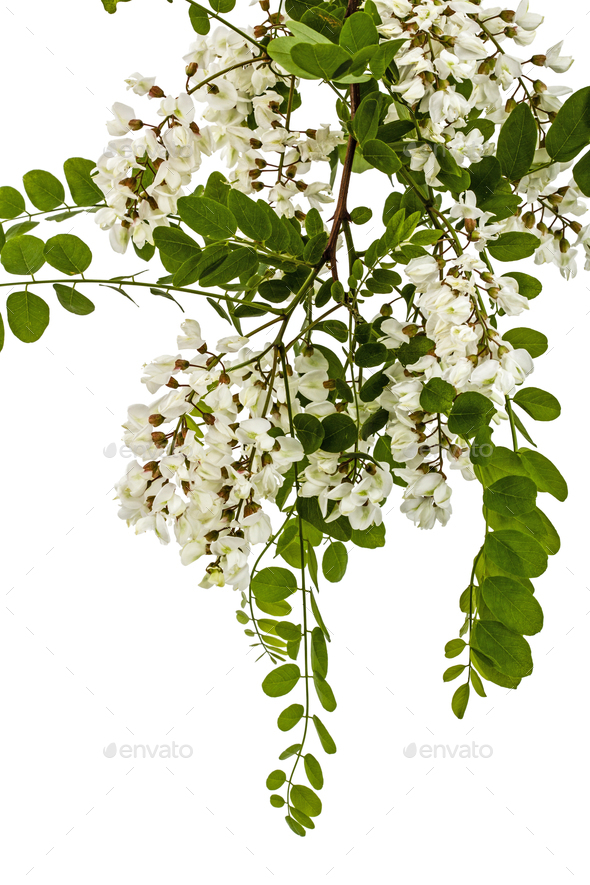 Blossoming acacia with leafs, isolated on white background - Stock Photo - Images