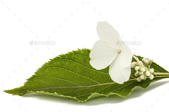 Flower of hydrangea closeup, lat. Hydrangea paniculata, isolated - Stock Photo - Images