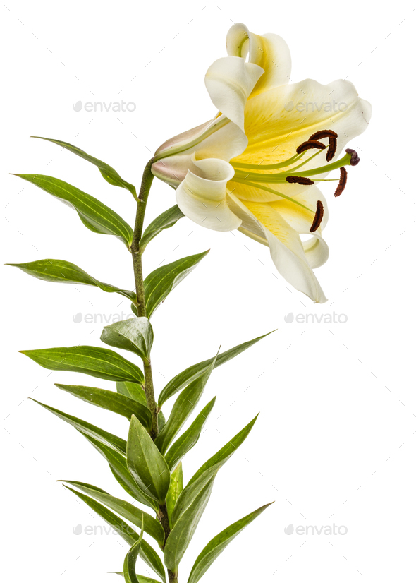 Flower of yellow oriental lily, isolated on white background - Stock Photo - Images