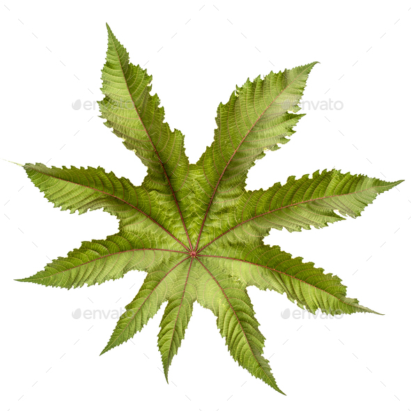 Leaf of ricinus communis close-up. isolated on white background - Stock Photo - Images