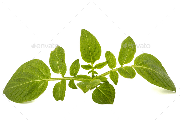 Leafs of potato, isolated on white background - Stock Photo - Images